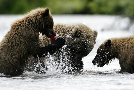 Alaska Bears at Russian River