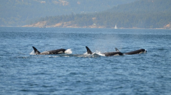 Wild Whales Vancouver – Whale Watching Tour
