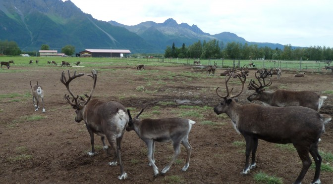 Alaska – Musk Ox Farm and Reindeer Farm