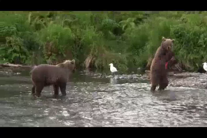 Grizzly Bears at Russian River Campground